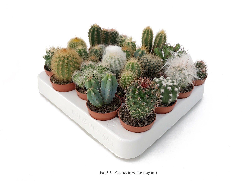 Cactus Bandeja Blanca mix